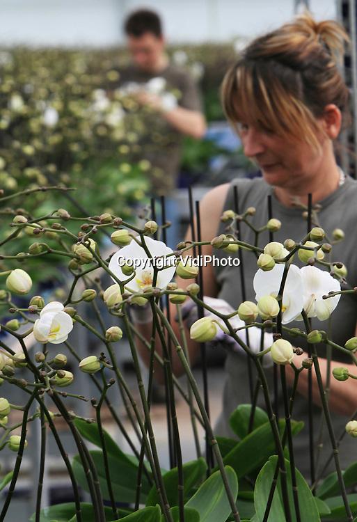 VidiPhoto..BEMMEL - In de werkruimte van orchideeënkwekerij De Molenhoek BV in Bemmel wordt dinsdag volop gewerkt aan halfwas orchideeën (phalaenopsis) en worden orchideeën klaargemaakt voor afzet naar de bloemenveilingen in Aalsmeer en Rijnmaas. Door het moederne interne transportsysteem van De Molenhoek hoeft er geen personeel meer in de kwekerij zelf te komen, waardoor verspreiding van plantenziekten wordt tegengegaan. Bovendien bespaart deze automatisering drie full-time krachten. De Molenhoek kweekt jaarrond 130 soorten orchideeën (1,3 miljoen stuks per jaar) en door de toegenomen populariteit van de phalaenopsis in Nederland en het voormalige Oostblok zitten ook de prijzen weer in de lift.