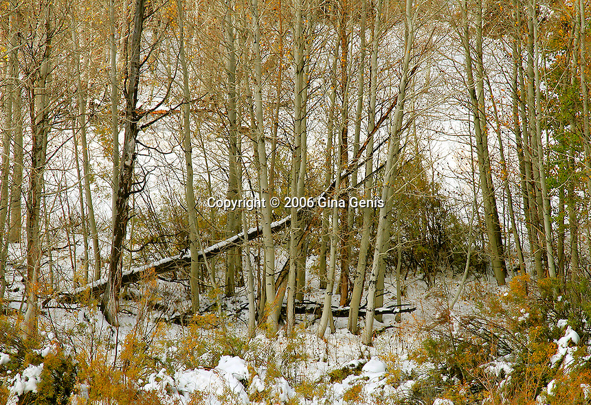 Aspen tree trunks with remaining golden leaves in the snow