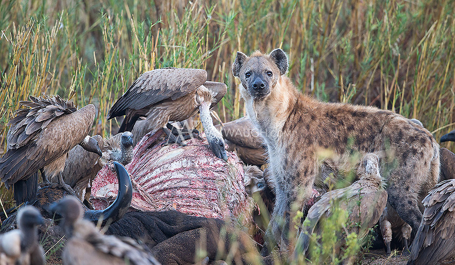 A wary hyena shares a buffalo carcass with a flock of White-backed vultures.