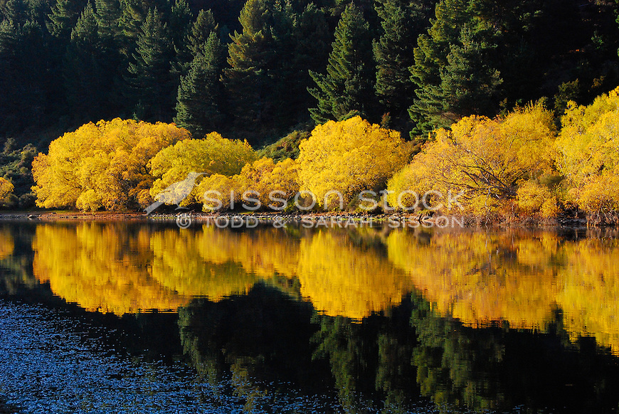 Autumn fall colours - willow trees. Reflected in Clutha river near The Outlet, Wanaka