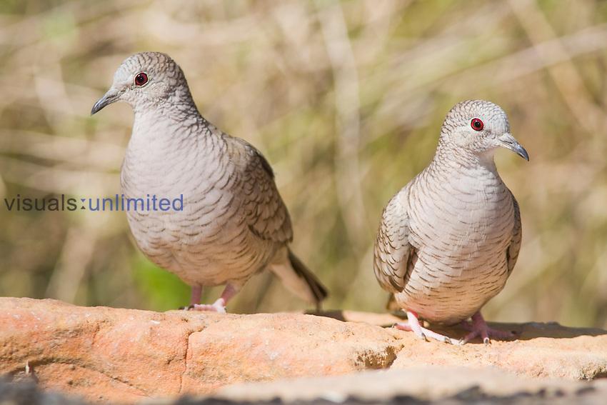 Inca Doves (Columbina inca) in South Texas, USA.