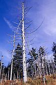 Czech Republic. Pine forest in the Black Mountains with dead trees killed by air pollution.