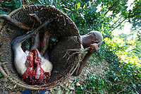 : Meat from the bush in a traditional basket. The men make traps of wood and lianas to trap antelopes and boar. The meat is shared at the camp and the surplus sold. The pygmies also hunt with a gun for the Bantu salesmen. The hunt, with a permit, is open legally from May 1 to October 20. The natives are authorized to hunt all year for their needs with traditional means if they do not trade or sell the meat. Meat from the bush can be found in the markets year-round and throughout the country.///Viande de brousse dans un panier traditionnel. Les hommes confectionnent des pièges en bois et en lianes pour piéger antilopes et sangliers. La viande est partagé au campement et le surplus vendus. Les pygmées chassent aussi au fusil pour les commerçants bantous. La chasse est ouverte avec un permis légalement du 1 mai au 20 octobre. Les autochtones sont autorisés à chasser toute l'année pour leurs besoins avec des moyens traditionnels si ils n'en font pas commerce. L'on trouve de la viande de brousse sur les marchés toute l'année et dans tout le pays.