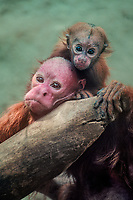 689903003c a captive red uakari adult cacajao ribucundus with its baby clinging to its neck peers out from its enclosure at an aaza zoo facility