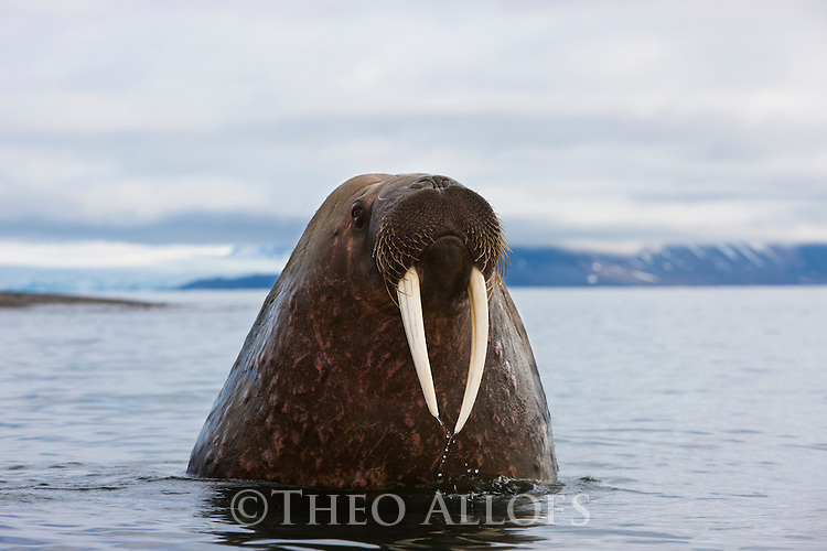 Norway, Svalbard, curious walrus popping head out of water