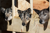 Katherine Keith's dogs rest during the Restart of the 2016 Iditarod in Willow, Alaska.  March 06, 2016.