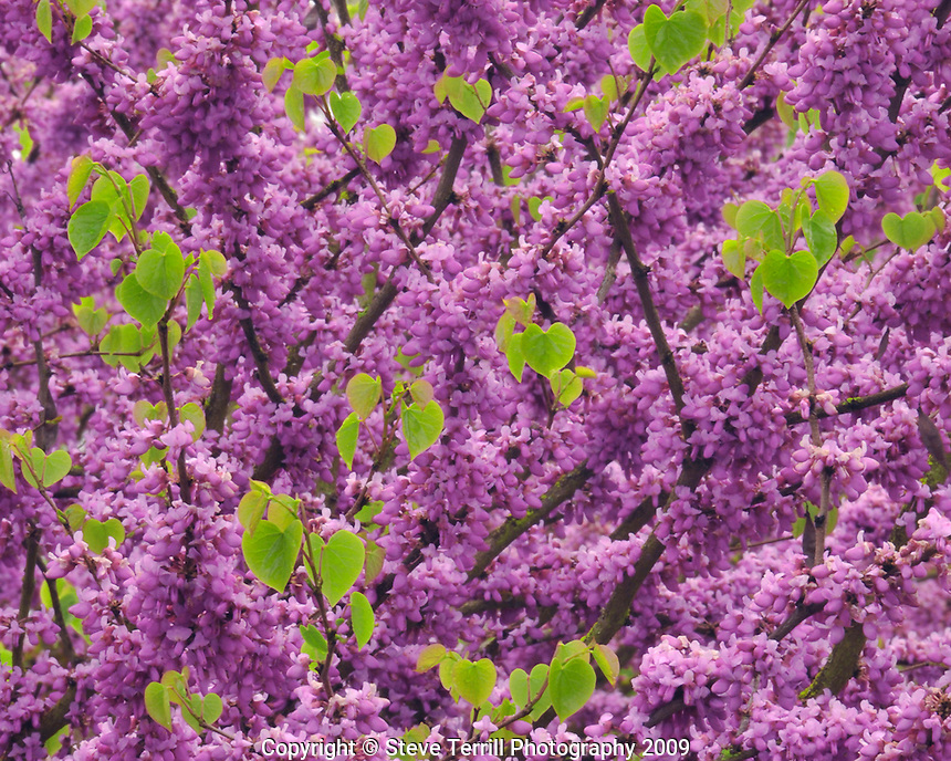 Blossoms and new growth on redbud tree in Multnomah County Oregon