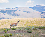 Pronghorn antelope are a common site in Yellowstone National Park.