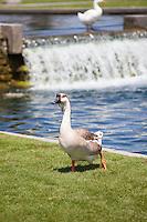 Chinese Goose at Cerritos Community Regional Park