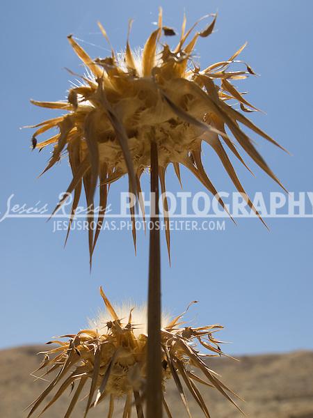 Dead sunflowers in Jordan