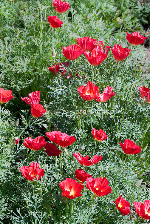 Eschscholzia californica Strawberry Fields California poppy, red poppies, annual flowers