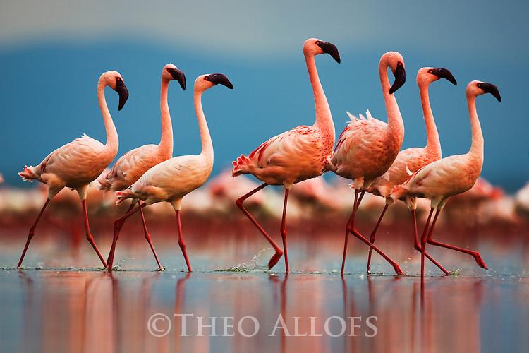Group of lesser flamingos (Phoenicopterus minor) walking in Lake Nakuru, Lake Nakuru National Park, Kenya