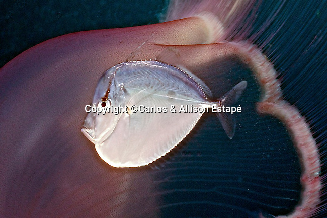Selene setapinnis, Atlantic moonfish, juvenile, Florida Keys