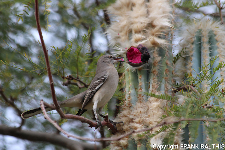 Mockingbird and cactus fruit in Palm Desert