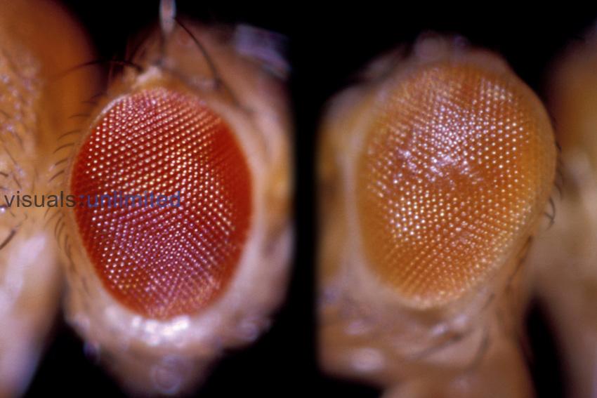 Drosophila Fruit Fly eye comparison: Wild (left) and White-Eosin (right)