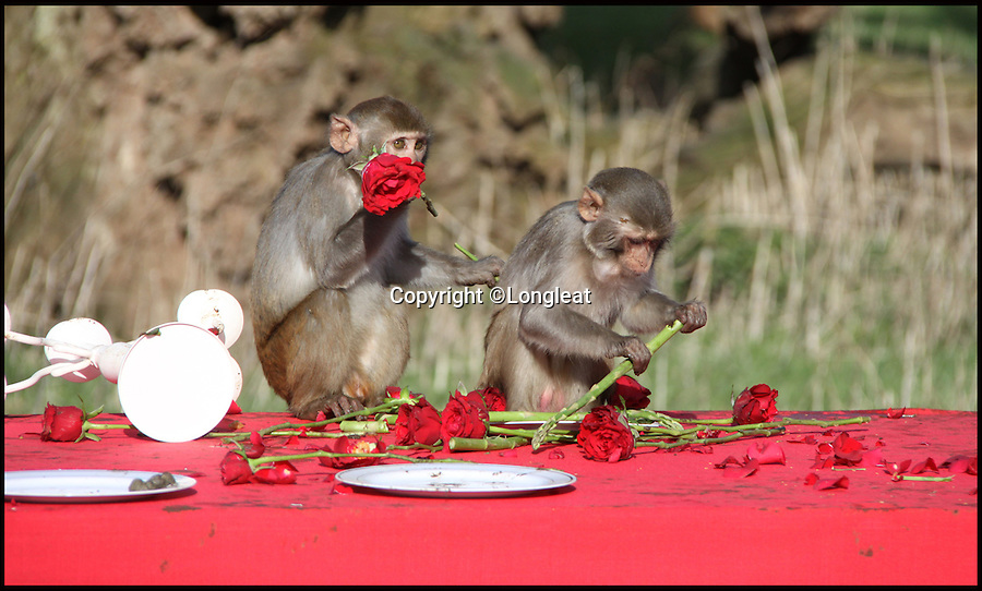 BNPS.co.uk (01202 558833)<br /> Pic: IanTurner/Longleat/BNPS<br /> <br /> The Macaques pile in to the tasty buffet...and eat the red roses.<br /> <br /> The likelihood of these diners sitting down to enjoy a quiet intimate meal for Valentine's Day was always going to be a big ask.<br /> <br /> The prospect of romance was soon replaced with antics of mayhem when the excited troop of macaque monkeys at Longleat Safari Park turned the candlelight supper into a bunfight.<br /> <br /> Within seconds of setting up the special romantic banquet complete with red roses and candelabra in their enclosure at the Wiltshire attraction, the guests had stripped the table bare and made off with the contents.