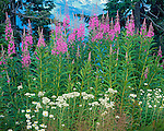 Mt Baker-Snoqualmie National Forest, WA<br /> Fireweed (Epilobium agustifolium) and Pearly Everlasting (Anaphalis margari- lacea)