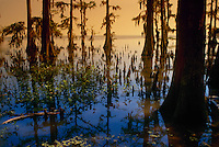 Atchafalaya swamp, Louisiana, with Taxodium distichum or  Bald Cypress trees with surreal light opening to the larger gulf