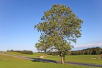 Gemeine Esche, Gewöhnliche Esche, Fraxinus excelsior, Common Ash, European Ash