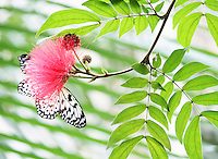 Stock photo: Electra Tree Nymph Black and white Butterfly nectaring on a pink powder puff flower on a graceful delicate stem with leaves with defocused foliage in the background in Callaway gardens, Georgia, USA.