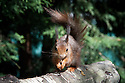 Red squirrel (Sciurus vulgaris), late April.