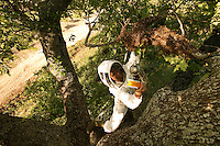 Charles, apiculturist and swarm hunter climbs on a tall oak as bees form a swarm around their queen to protect her. Loaded will honey for the trip, they are not dangerous. The beekeeper focuses on the queen. If he does not catch her, the bees will escape the basket to rejoin her and the operation will have been useless..