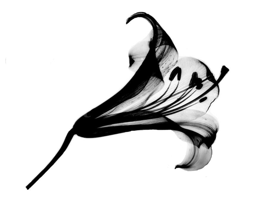Xray stargazer lily blossom