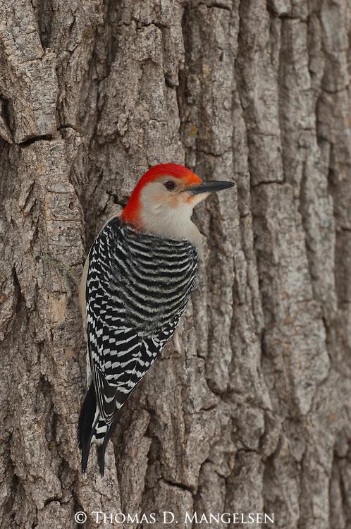 A red-bellied woodpecker perches on a tree near the Platte River in Nebraska.