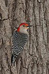 A red-bellied woodpecker perches on a tree near the Platte River in Nebraska.