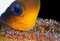 Clark's Anemonefish,Amphiprion clarkii, aerating its eggs, Tulamben, Bali, Indonesia, Pacific Ocean