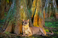 Florida Panther (Puma concolor coryi) resting in cypress swamp.  Florida.  Endangered species.
