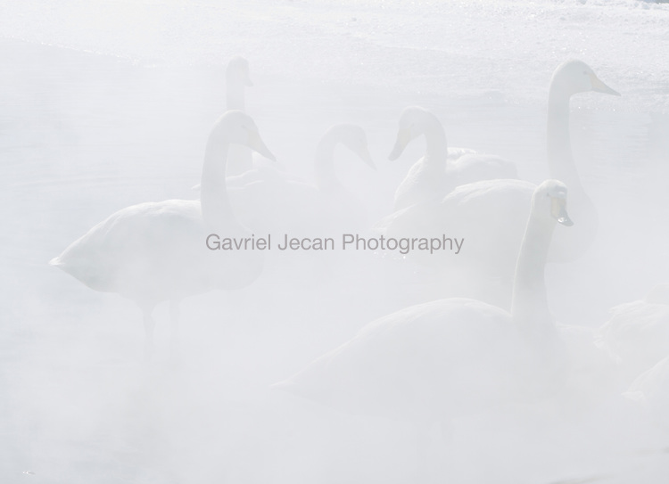 Whopper Swans ( Cygnus cygnus ) in the hot spring waters of Lake Kussharo.