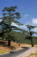 Car passing between tow large cedar trees, Arzou, Morocco.