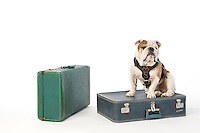 Bully XX Champ ready to travel with suitcases. <br /> (photo by Megan Bean / Mississippi State University)