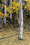 October 2, 2010: Autumn is the West Elk Ranger, Crested Butte, Colorado.