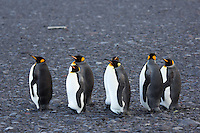 King Penguins on the Nullarbor Plain, Heard Island, Antarctica