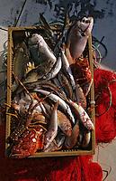 Europe/France/Corse/2A/Corse-du-Sud/Golfe d'Ajaccio: Pêche à l'aube avec François Sallini et Michel Serreri devant les iles Sanguinaires - Détail du poisson