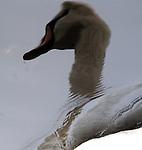 BABYLON-FEBRUARY 23, 2006: A swan reflected in the water of pond at Argyle Park in West Babylon on Thursday February 23, 2006. (Newsday Photo / Jim Peppler).