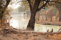 Baboons, Luangwa River Valley, Zambia, Africa