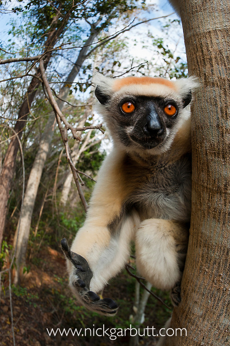 Golden-crowned Sifaka or Tattersall's Sifaka (Propithecus tattersalli) in forest near Andranotsimaty, Daraina, north east Madagascar. Critically Endangered.