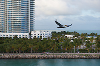 Pelican fly over South Pointe Beach, Miami