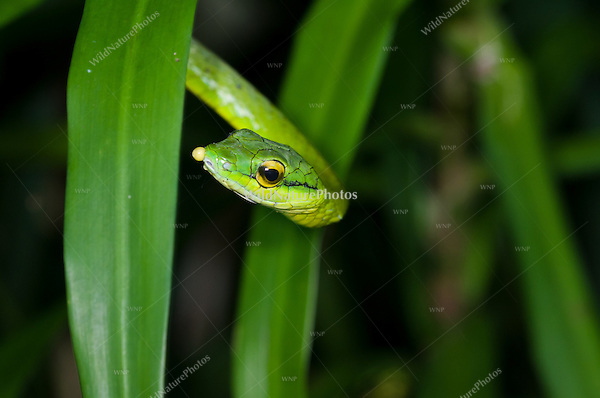 Giant Parrotsnake (Leptophis ahaetulla),  feeding on the eggs of the Red-eyed Tree Frog (Agalychnis callidryas), Bocas del Toro, Colon Island, Panama