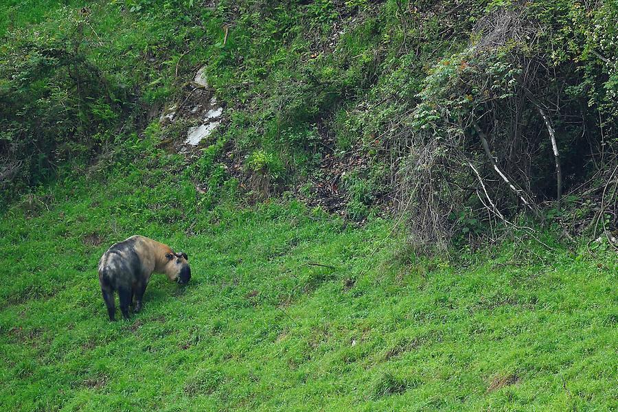 Sichuan or Tibetan Takin, Budorcas taxicolor tibetana, Tangjiahe National Nature Reserve, NNR, Qingchuan County, Sichuan province, China