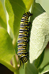 A Monarch caterpillar on a Milkweed leaf.