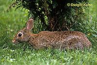 MA24-005z  Cottontail Rabbit - Eating grass - Sylvilagus floridanus