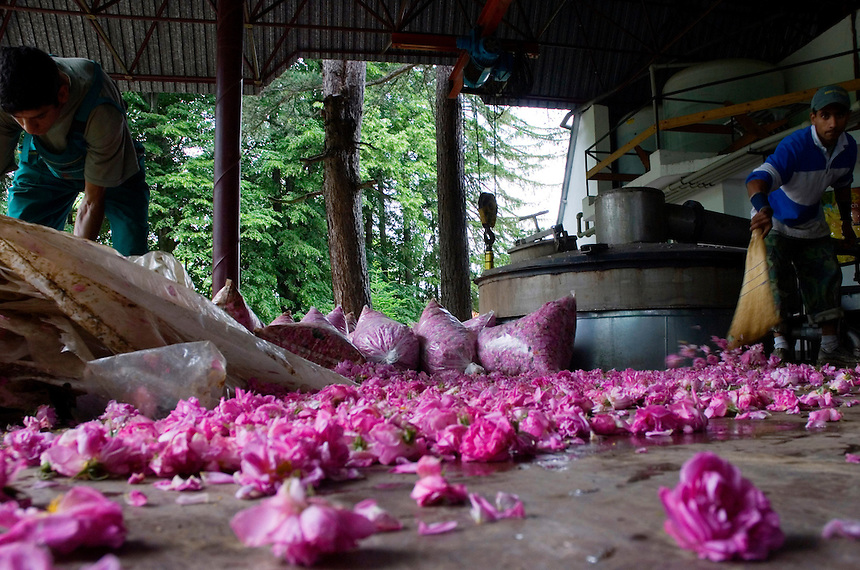 An  worker at the Enio Bonchev Rose Distillery in Tarnichane, Bulgaria, scoops up the morning's rose harvest. These rose petals will be processed immediately into rose oil - the aromatic liquid which is the essential component of many perfumes.