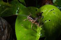 Katydid, Siquirres, Costa Rica.