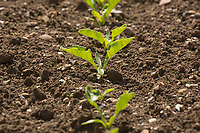 Young sugar beet plants<br /> &copy;Tim Scrivener Photographer 07850 303986<br /> ....Covering Agriculture In The UK....