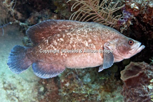 Rypticus saponaceus, Greater soapfish, Florida Keys