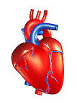 Human Heart 3D Illustration isolated on white background